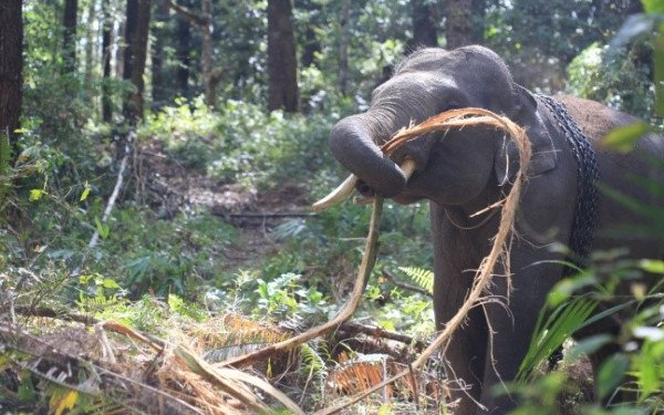 Kebakaran Hutan Di Taman Nasional Tesso Nilo 8 Ekor Gajah Sumatera Terpaksa Dipindahkan Jpnn Com