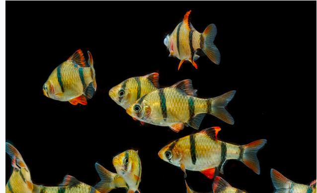 Ini Fakta Tentang Ikan Harimau Yang Harganya Selangit Jpnn Com