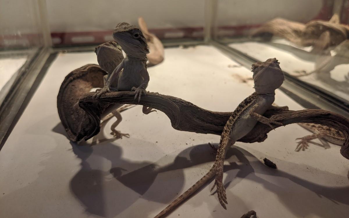 Berawal dari Hobi, Kini Bisnis Ternak Reptil Rizky Beromzet Puluhan Juta Rupiah - JPNN.com