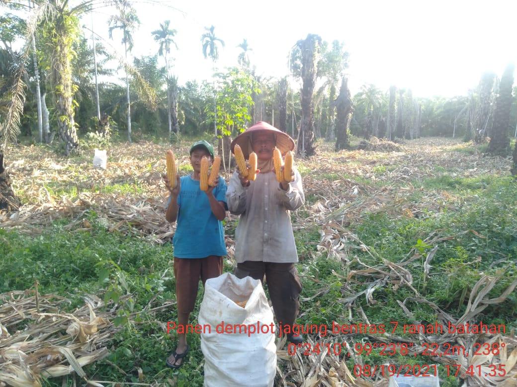 Pasok 40% Kebutuhan di Sumbar, Pasaman Barat Panen Jagung - JPNN.com