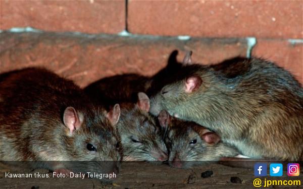 Cara Murah Deteksi Penyakit Tuberkulosis dengan Tikus - JPNN.COM