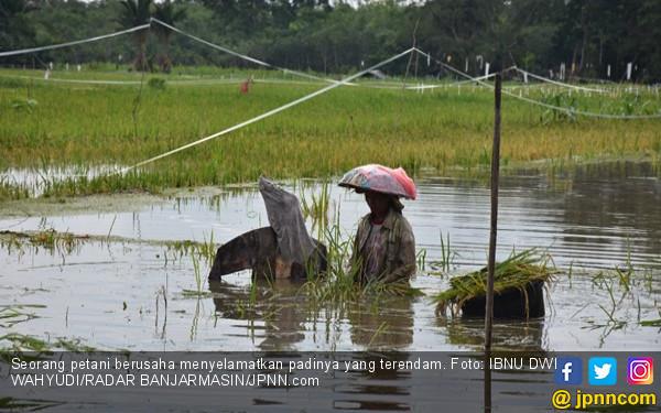 Sawah Direndam Banjir, Petani Panen Padi Lebih Awal - JPNN.COM