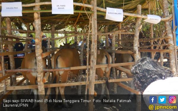 Kementan Promosikan Sapi Siwab NTT Pada Delegasi Timor Leste - JPNN.COM