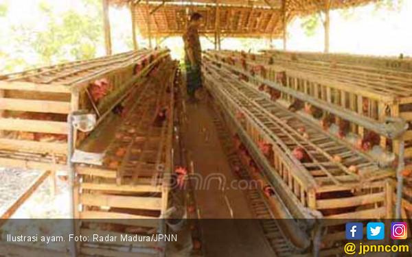 Harga Ayam Pedaging Turun Rp 5 Ribu per Ekor - JPNN.com