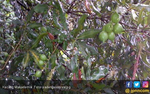 Produksi Kacang Terenak di Dunia Asal Solsel Turun Drastis - JPNN.COM