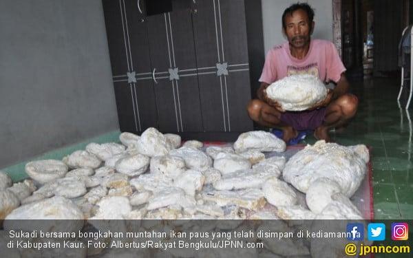 Muntahan Ikan Paus Milik Nelayan Sudah Ditawar Rp 3,3 Miliar - JPNN.COM