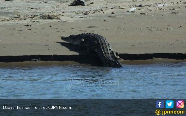 Buaya Muncul saat Surut di Wisata Mangrove - JPNN.COM