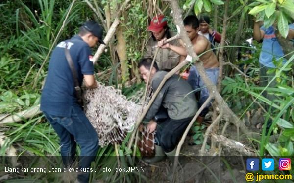 Dua Pelaku Pemenggalan Orang Utan Ditangkap, Oh Ternyata - JPNN.COM