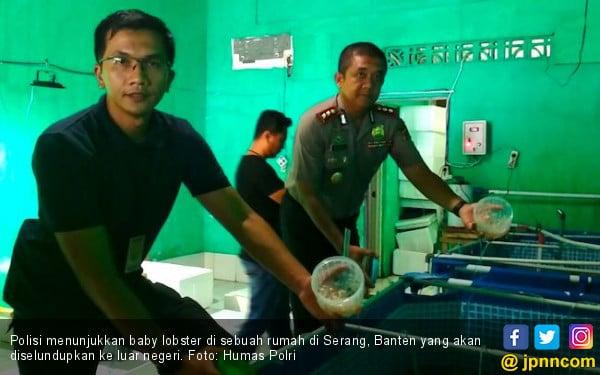 Polisi Gerebek Rumah Penyimpanan Baby Lobster di Serang - JPNN.COM