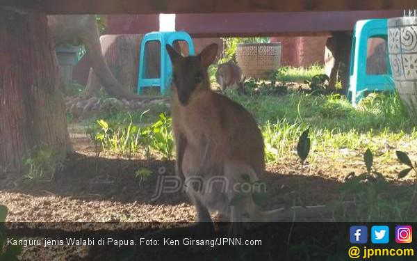 Kanguru Juga Hewan Asli Papua, Kecil Menggemaskan - JPNN.COM