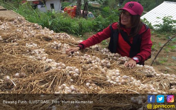 Kementan Kembali Gencar Memproduksi Bawang Putih di Magelang - JPNN.COM