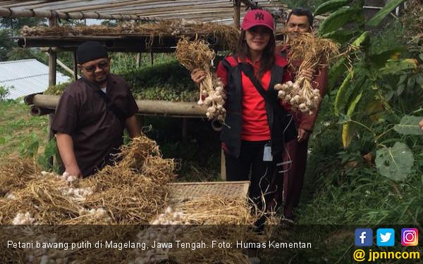 Petani Bawang Putih di Magelang Makin Bergeliat - JPNN.COM