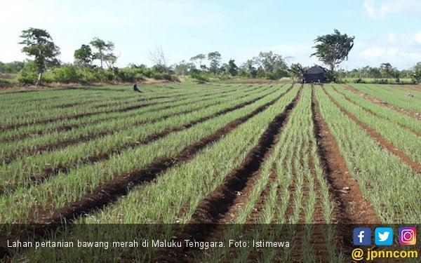 Maluku Tenggara, Mutiara Baru Sentra Bawang Merah dari Timur - JPNN.com