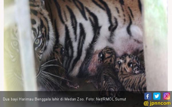 Dua BayiHarimau Benggala Lahir di Medan Zoo - JPNN.COM