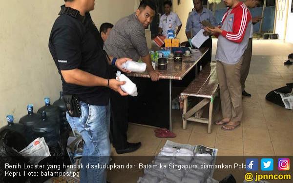 Polda Kepri Gagalkan Penyeludupan Benih Lobster ke Singapura - JPNN.COM