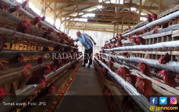 Harga Turun Drastis, Ayam Hidup Dibagi Gratis - JPNN.com