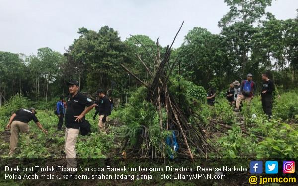 Bareskrim Musnahkan Ladang Ganja Tak Bertuan - JPNN.COM