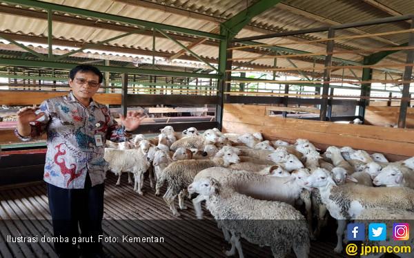 Ekspor Domba Garut Merambah Uni Emirat Arab - JPNN.COM