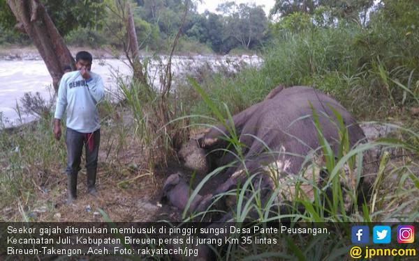 Seekor Gajah Ditemukan Mati dengan Gading Hilang di Bireuen - JPNN.COM