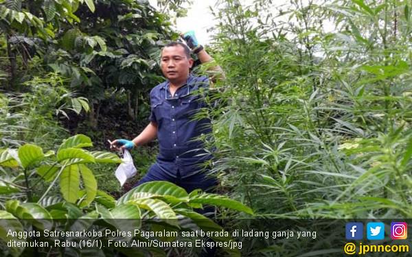 Permalink to Lihat, Polisi Temukan Ladang Ganja di Pagaralam