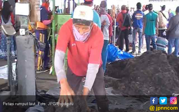 Petani Rumput Laut Gigit Jari Saat Musim Hujan - JPNN.com