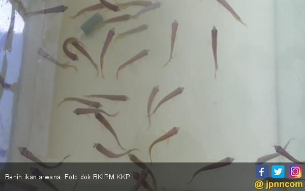 KKP Gagalkan Pengirimam 295 Ekor Benih Ikan Arwana ke Malaysia - JPNN.COM