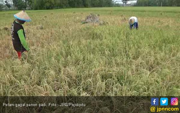 Benih IF8 Berpotensi Rugikan Petani Aceh - JPNN.com