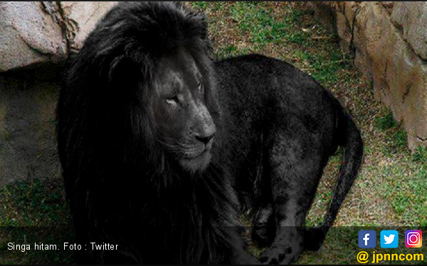 Hiii...Ada Penampakan Singa Berwarna Hitam - JPNN.com