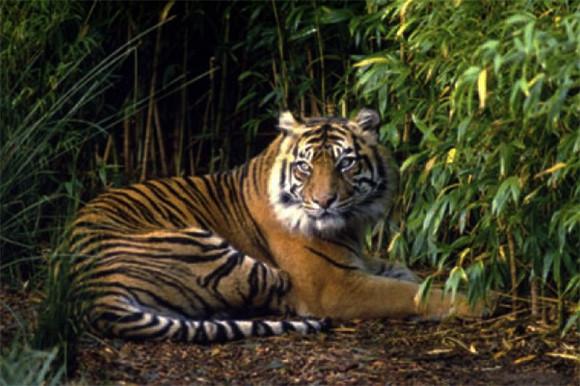 Pemburu Harimau Sumatera Terancam 5 Tahun Penjara