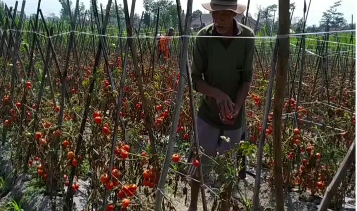 Harga Anjlok, Tomat Dibiarkan Petani Membusuk di Kebun - JPNN.com