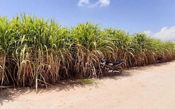 Sistem Pembelian Tebu, Bikin Maju Petani dan Pabrik Gula
