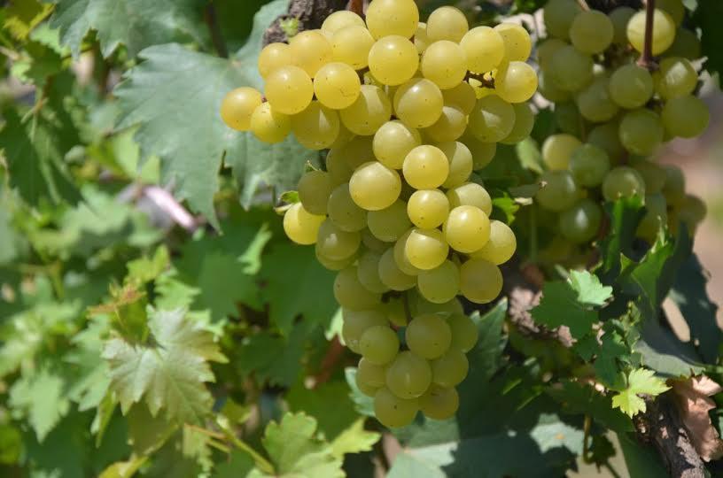 anggur-janetes-sp1-idola-hortikultura-indonesia-masa-depan