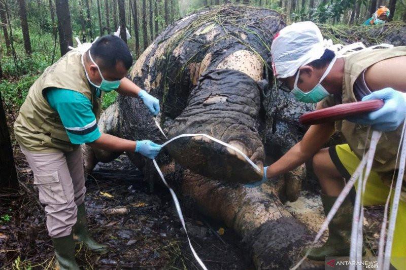 KLHK Akui Kesulitan Ungkap Kasus Pembunuhan Gajah Sumatera di Riau, Ini Alasannya - JPNN.com
