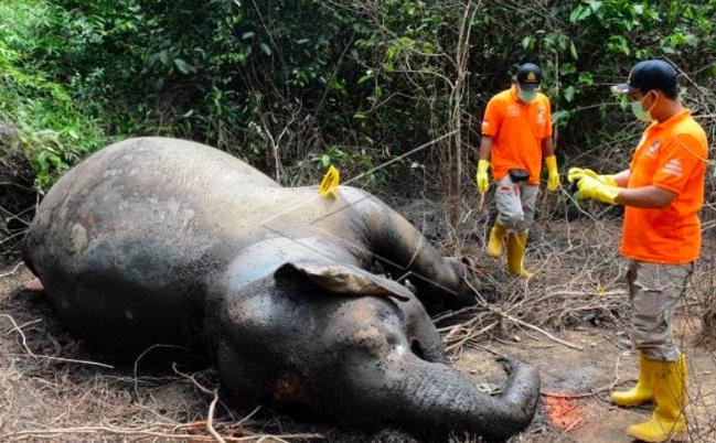 Pembantai Gajah Sumatera Masih Berkeliaran, Ternyata Begini Modusnya