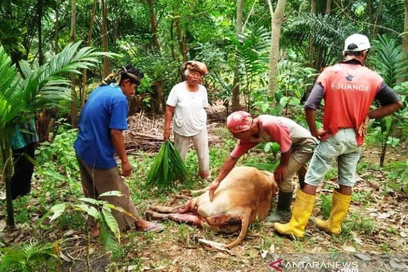 Harimau Sumatera Teror Warga Agam - JPNN.com