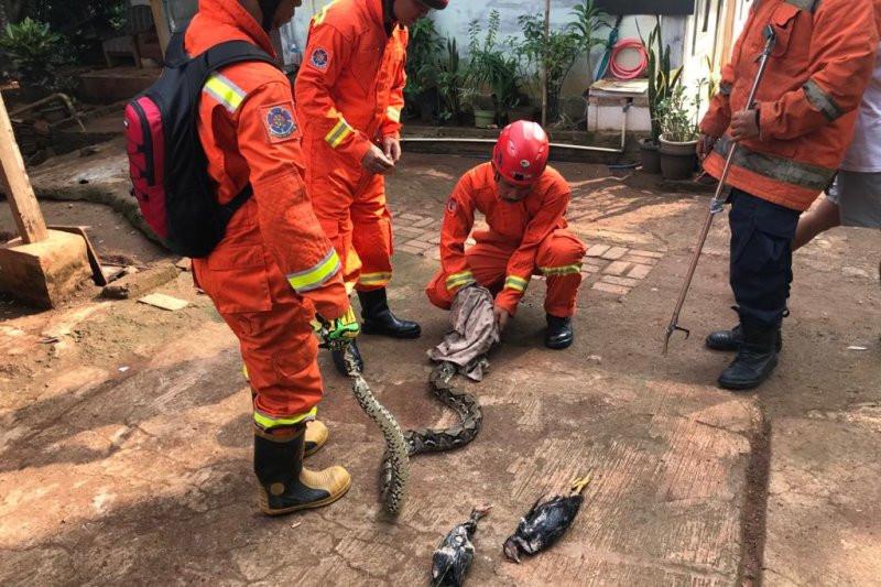 Petugas Damkar Berjibaku Menangkap Sanca di Pasar Rebo - JPNN.com