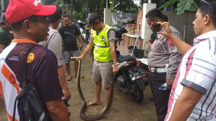 Ular Sanca Datang di Tengah Banjir, Bikin Repot Warga - JPNN.com