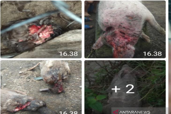 Cerita Saut Soal Makhluk Haus Darah Pemangsa Ratusan Ternak Miliknya,Oh Ternyata - JPNN.com
