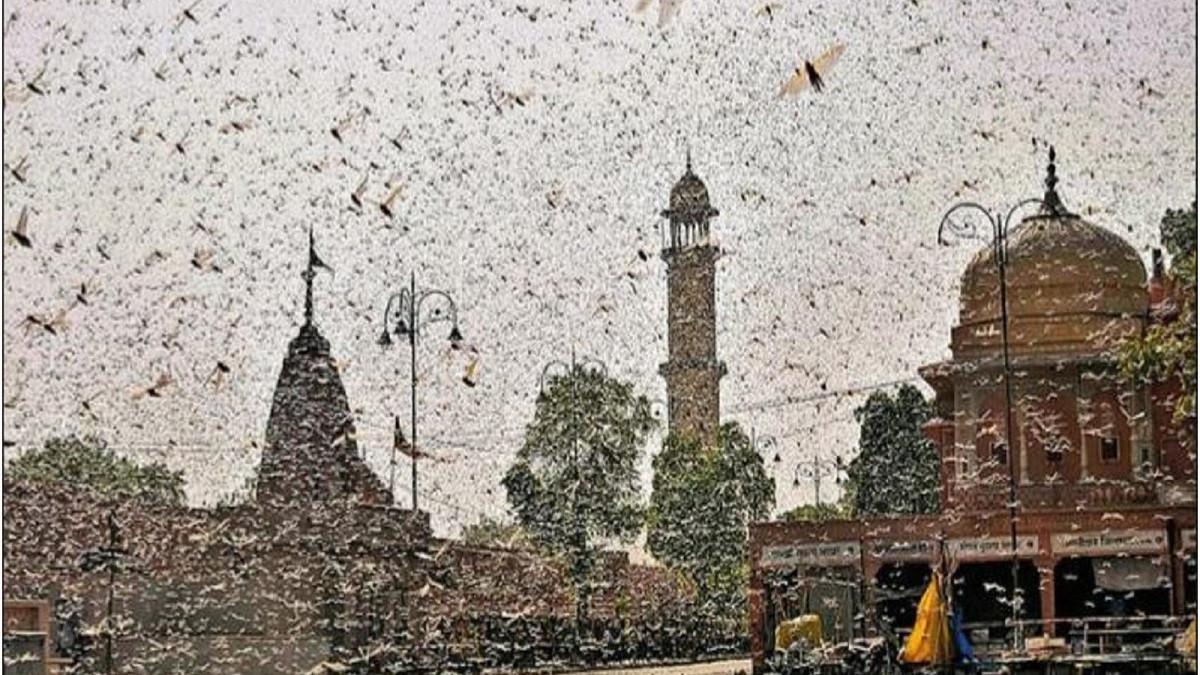 Pemandangan Mengerikan, Belalang Penghancur Serbu Ibu Kota India - JPNN.com