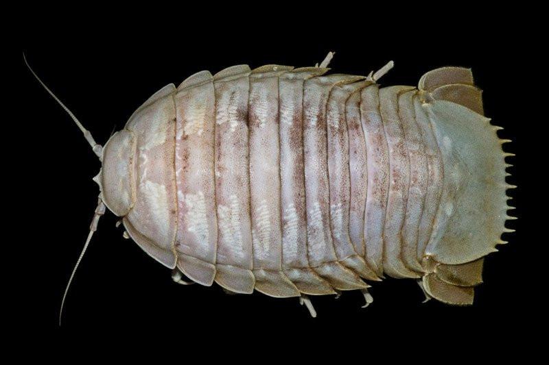 Penampakan Kecoak Laut Raksasa - JPNN.com