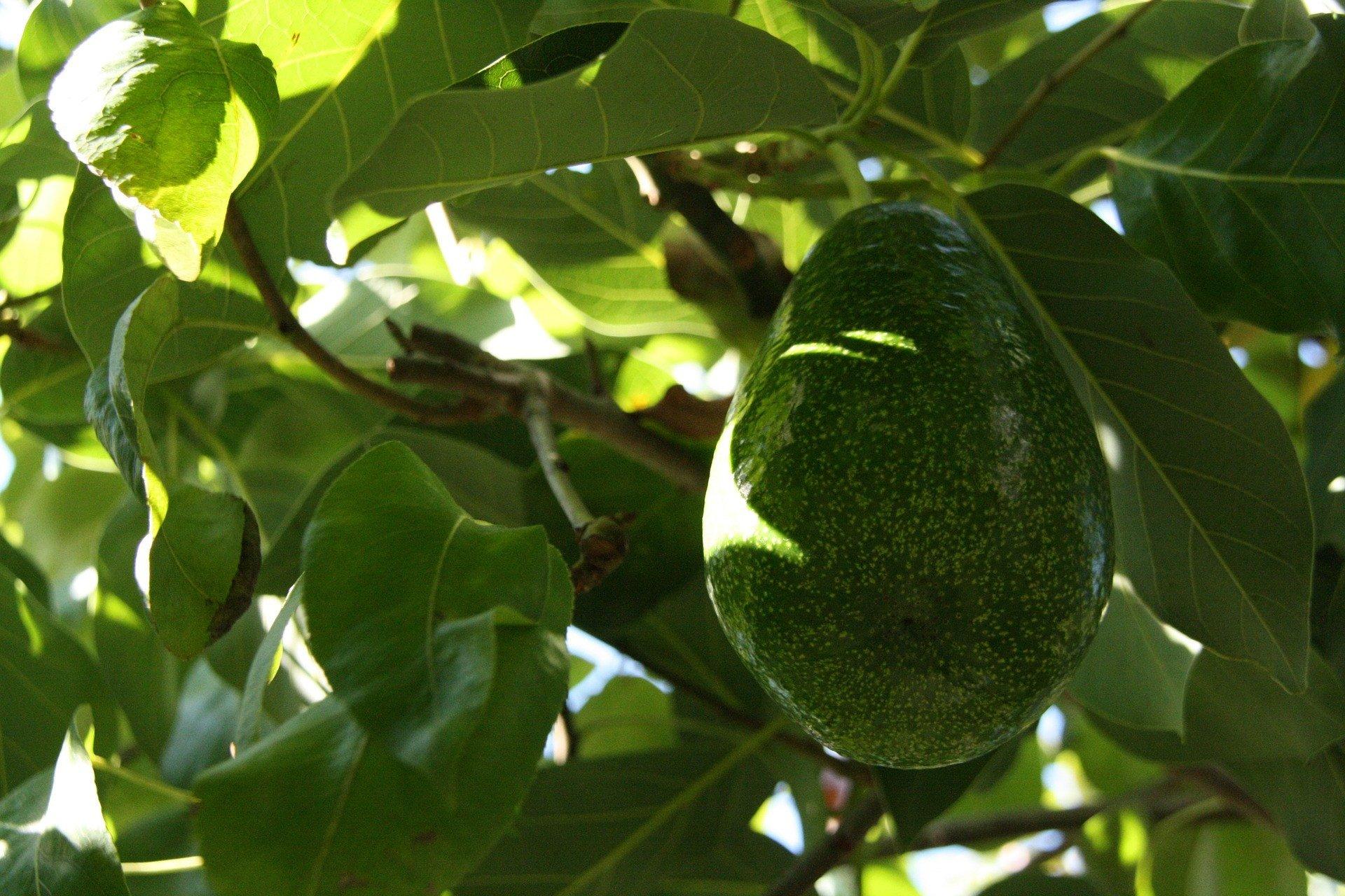 4 Benefits of Avocado Leaf Boiled Water, Number 3 Can Destroy Kidney Stones - JPNN.com
