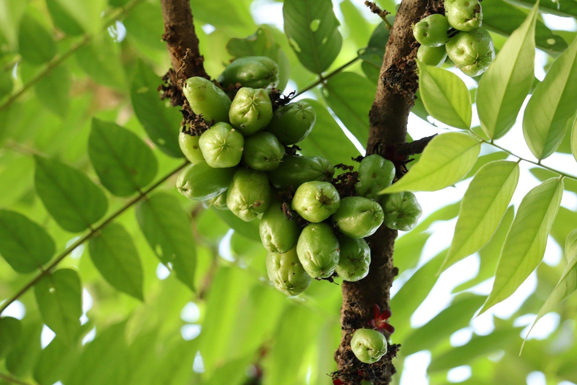 5 Benefits of Starfruit Leaves, Number 3 Treat Diabetes - JPNN.com