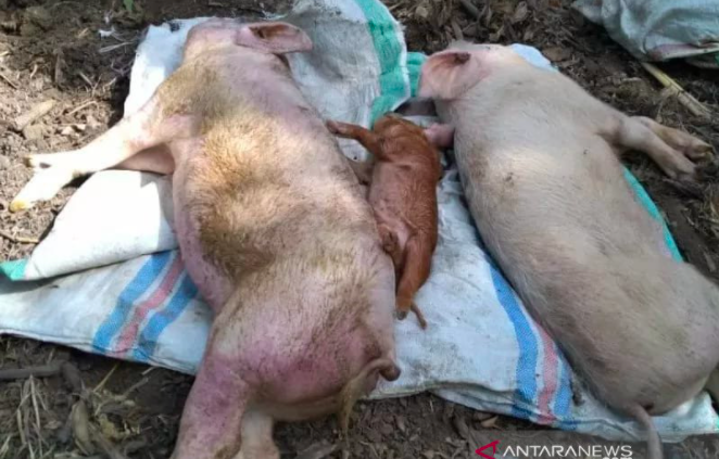 NTT Butuh Labkes Hewan Tangkal Virus Flu Babi Afrika, Rawan Serangan dari Timor Leste - JPNN.com Bali