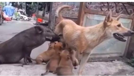 Unggah Video Babi Menyusu Pada Anjing, Maia Estianty: Kalau di Indonesia Sudah Dibunuh - JPNN.com