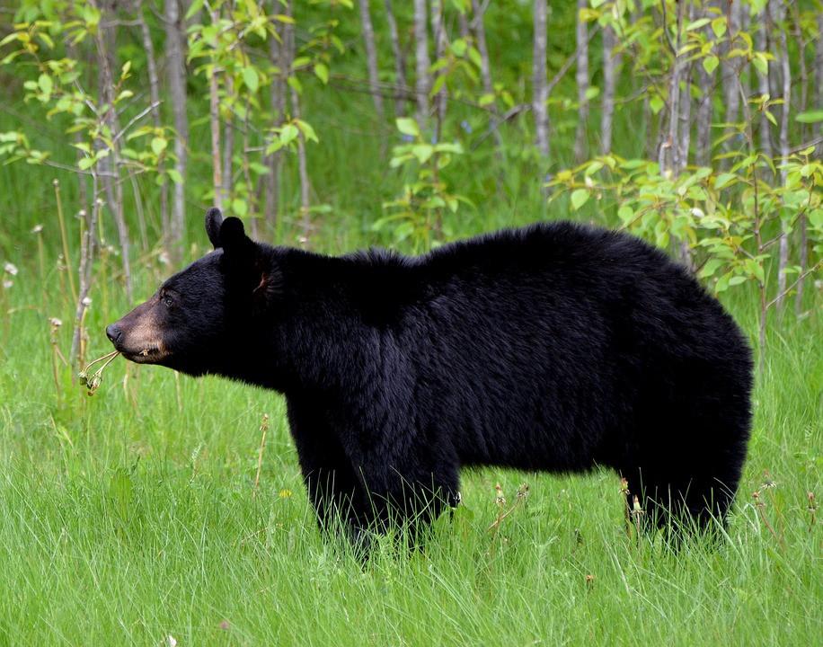 Laney Malavolta Diserang dan Dimakan Beruang Hitam, Gempar, Bikin Merinding - JPNN.com