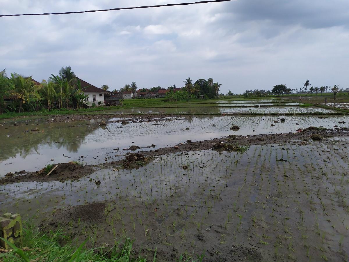 Distan Jembrana Sebut Minat Petani Ikut Asuransi Rendah - JPNN.com Bali