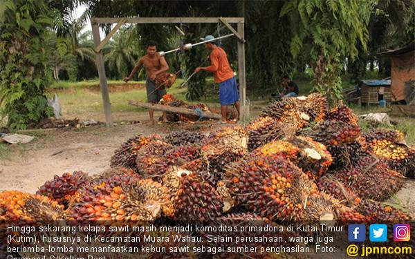 Kelapa Sawit Masih Jadi Primadona di Kutim - JPNN.COM