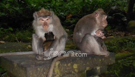 Serbuan Monyet Ngeri! Ayolah Segera Panggil Para Pawang dari Suku Baduy