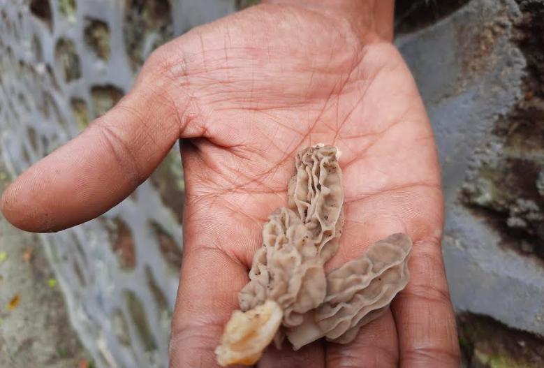 Morchella crassipes, Primadona Baru di Rinjani
