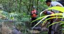 30 Ekor Landak Jawa Dilepasliarkan - JPNN.com